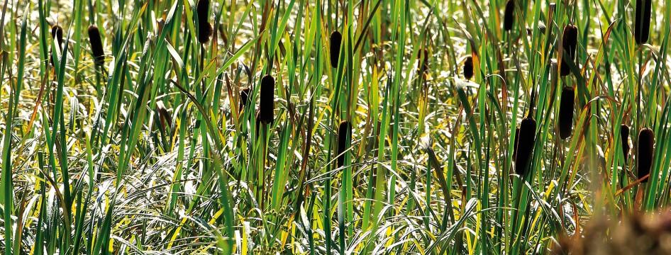 Une plante en vedette : La massette