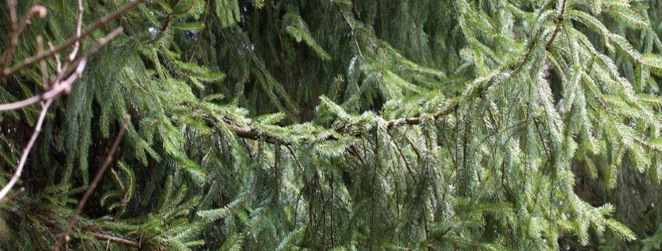 Une plante en vedette : l'épicéa